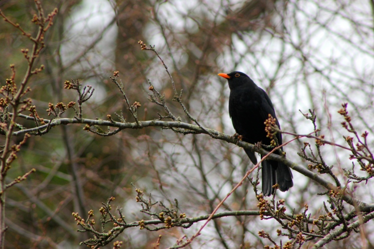 Northwood Blackbird