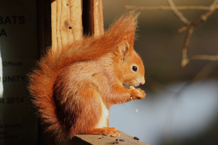 Classic Squirrel